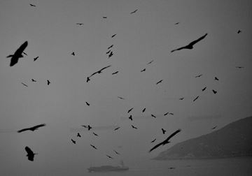 Picture of Black Kites, 2015