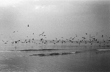 Picture of Seagulls, Huidong 2013 海鷗 2013, 惠東