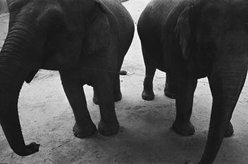 Picture of A Pair of Elephants, Shenzhen 2012 一對大象 2012, 深圳